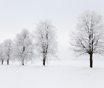 winter season - trees growing in a row in a winter season. the picture is taken in the field